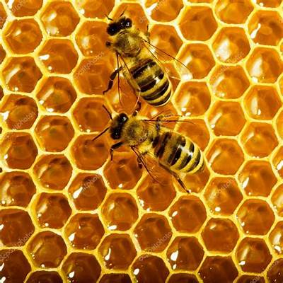 How do all bees innately know to build hexagonal hives
