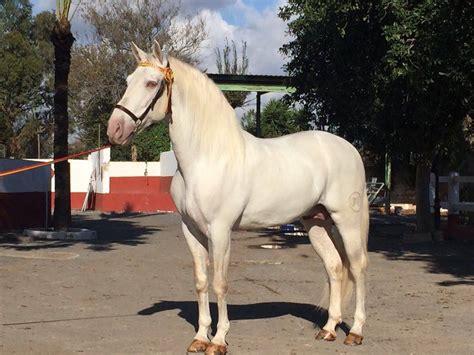andalusians stud horse spanish breeders pre star btinternet