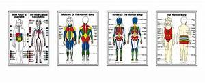Human Body Diagram For Kids