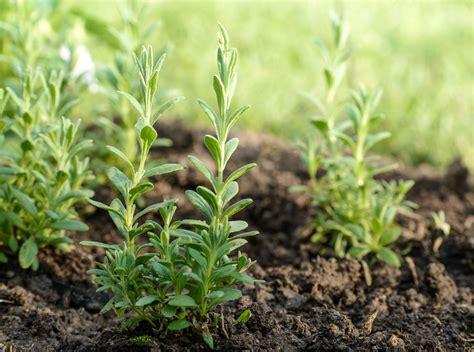 stecklinge in erde lavendel das mediterrane heilkraut aus dem eigenen garten plantura