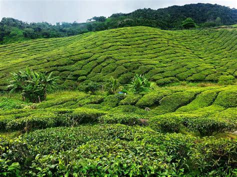 Trip To Cameron Highlands 2014 Boh Tea Plantation Just
