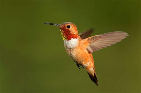 small rufous hummingbird in flight hummingbird facts and
