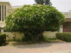 file cha tree with yellow flowers in islamabad pakistan jpg wikimedia commons