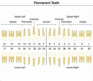 Universal Dental Tooth Chart