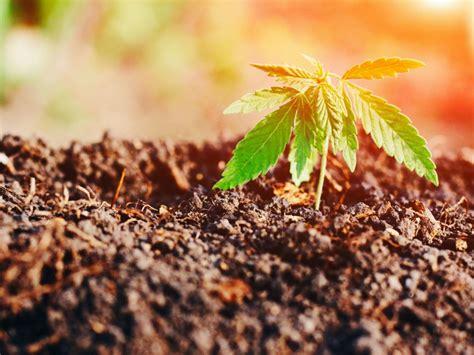 Grow Bigger & Fatter Marijuana Resin Glands Now