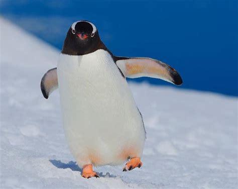 cute penguin photographs design swan