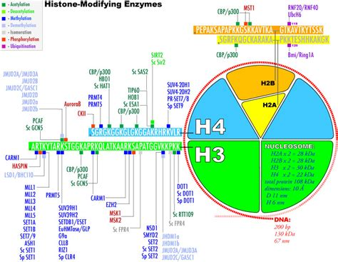 Modification Histone by Histone Modifying Enzymes
