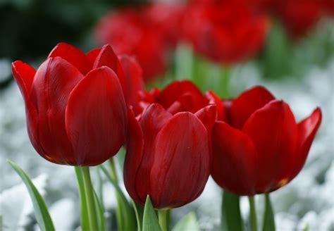 most popular tulip bulbs toptulips