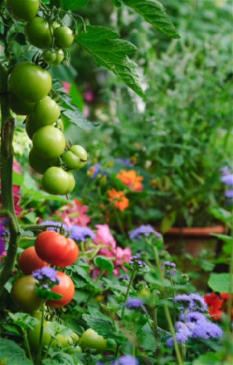 beautiful potager garden with pretty flowers and tomatoes png