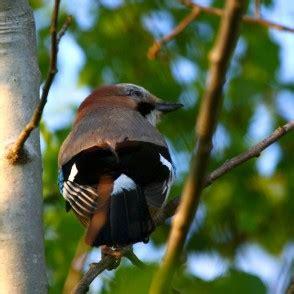 Dzīvnieki - Putni - Zvirbuļveidīgo kārta - redzet.lv