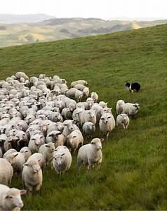 Sheep Herding Dogs