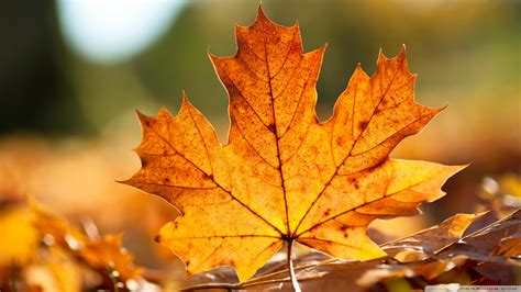 20+ Latest Autumn Maple leaves HD Wallpaper 2011 - Themes ...