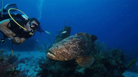 grouper goliath cuba chance gives science second