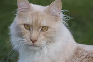 maine coon cat breeders 2 maine coon cats for norwich norfolk pets4homes