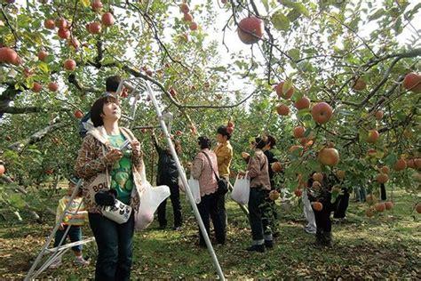 Musim Gugur Tiba Kunjungi Kebun Buah Apel Di Jepang Ini