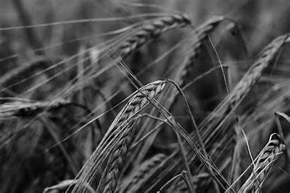Barley Ema Terroir 4k Getreideanbau Cultivation Cereals
