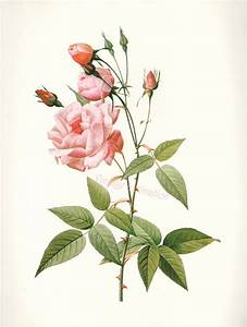 Vintage BOTANICAL Chart Print French 1700s REDOUTE ROSE ...