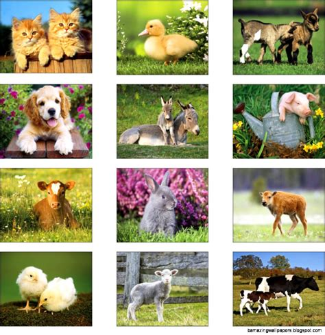 Baby Farm Animals Wallpaper - baby farm animals pictures amazing wallpapers
