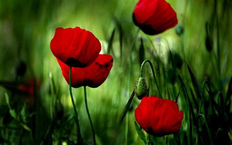 poppies the flower download flowers poppies wallpaper 1440x900 wallpoper 370104