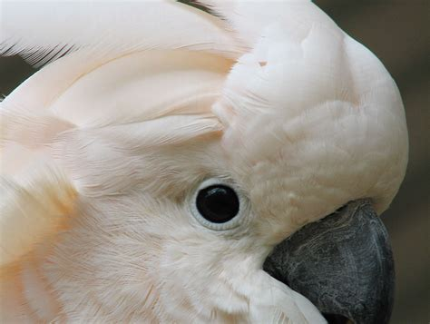 moluccan cockatoo cockatoo parrot baby images