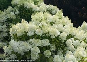 Hydrangea Paniculata Bobo : bobo panicle hydrangea hydrangea paniculata proven ~ Michelbontemps.com Haus und Dekorationen