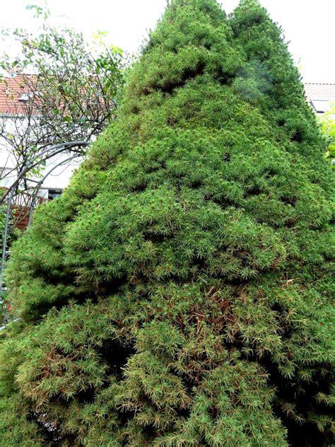 nadelholzspinnmilben lassen koniferen braun werden