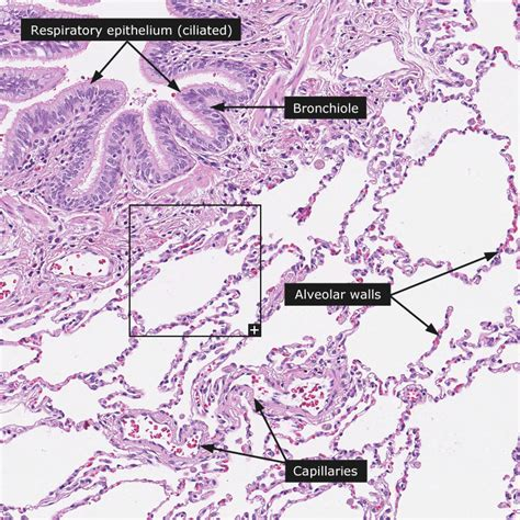 ciliated epithelium tissue images frompo