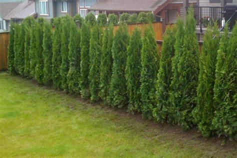 cedar hedges eastern cedar