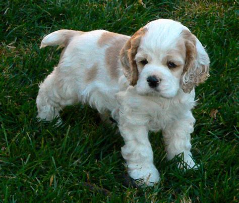 The cocker spaniel originated in spain, but were perfected in england. Cocker Spaniel Puppy Pictures From Our 2004 Litter