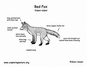 Diagram  Red Fox Organ Diagram Full Version Hd Quality
