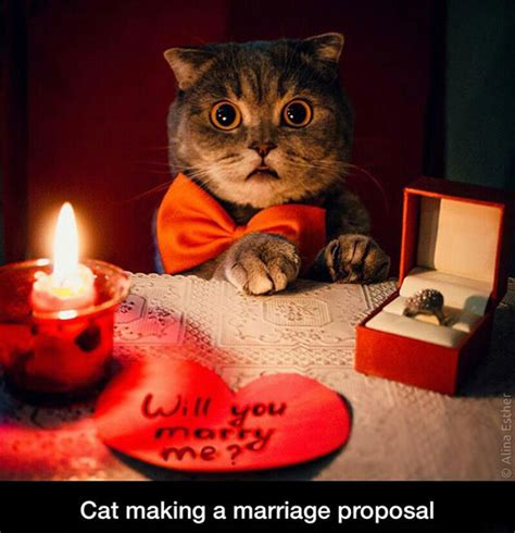cat marriage proposal jpegy   internet