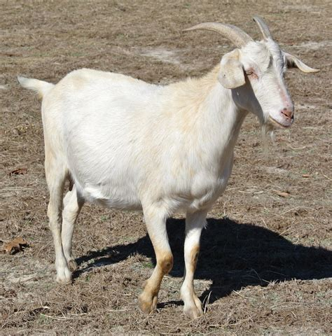 goat breeds 10 best goat breeds for milk production in the world