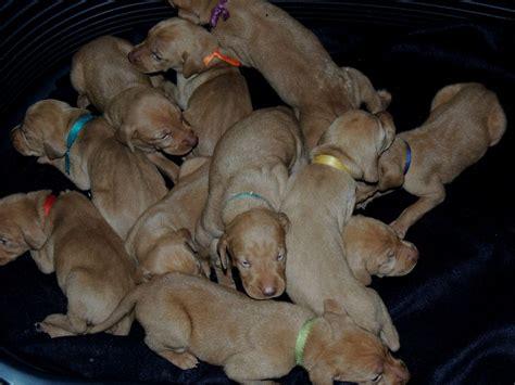 when do puppies open puppies open eyes puppies puppy