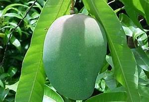 Mango Farming Information Guide   AsiaFarming.com