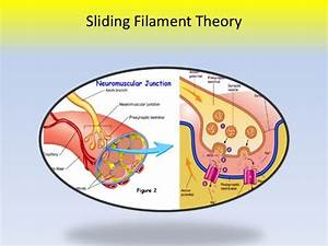 Sliding Filament Theory Overview