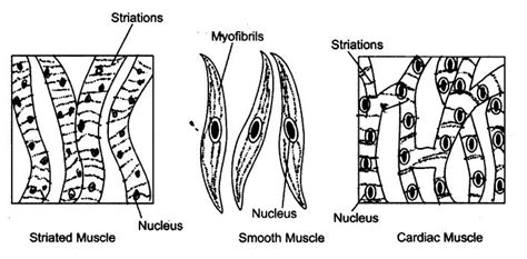 ncert solutions  class  science chapter  tissues