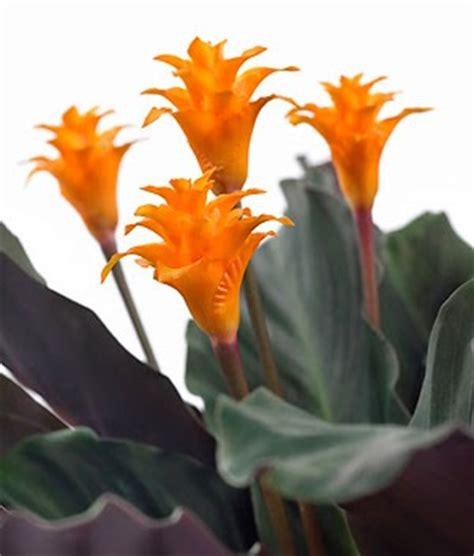 pianta fiori arancioni giardinaggio ponte in valtellina calathea crocata