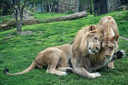 Lion African Zoo Philadelphia Animals
