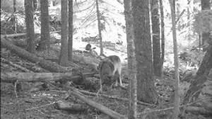 State House votes to ease killing of Oregon wolves | KATU