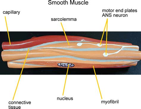 What is vascular smooth muscle?different types of muscle when we think of the word muscle, the image of bustling biceps or rippling abs may spring to mind. Untitled Document faculty.collin.edu