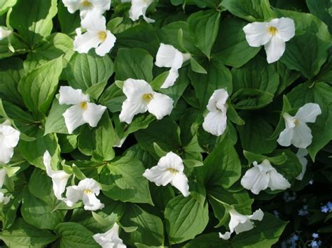planting trilliums best flowers to plant for cool weather thebrandconnection com