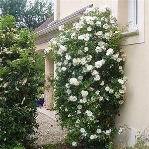 Rosier Grimpant Blanc : vente rosier perpignan decorosiers r archives vente ~ Premium-room.com Idées de Décoration
