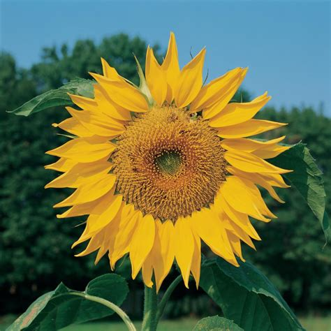 Big and Small Sunflower Varieties - Different Sunflower ...