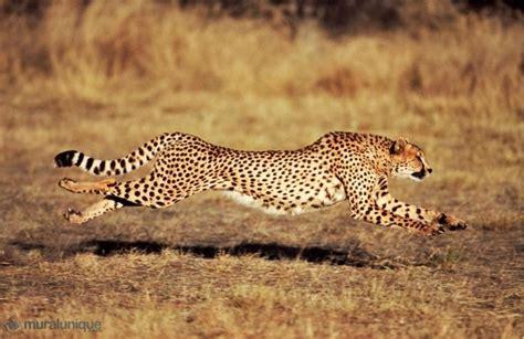 animal faster   jaguar quora