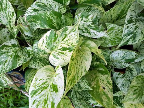 Calathea Blätter Hängen by Calathea Bekommt Gelbe Bl 228 Tter 187 Ursachen Ma 223 Nahmen