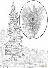 Pine Coloring Tree Pages Western Printable Redwood Pinus Monticola Drawing Template Trees Bristlecone Templates Recommended sketch template