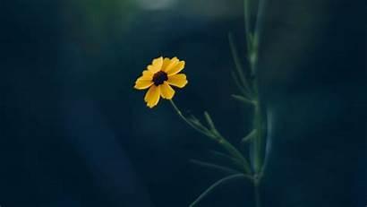 Flower Yellow Cosmos Background 4k Blur 1080p
