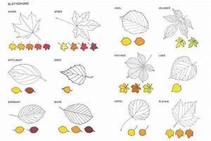 Laubbaum Mit Roten Blättern : bl tterkunde mit den 24 bekanntesten b umen hilft beim suchen und bestimmen der blattarten ~ Frokenaadalensverden.com Haus und Dekorationen