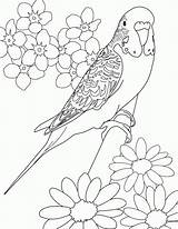 Budgie Coloring Parakeet Pages Printable Parakeets Budgerigars Colouring Bird Drawings Adults Desenhos Budgies Birds Sheets Adult Para Books Budgerigar Canary sketch template