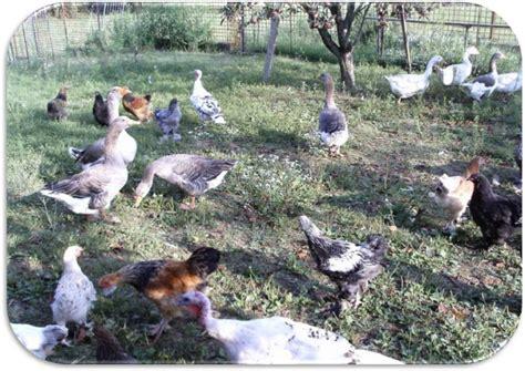 animali da cortile gli animali da cortile il mondo degli animali
